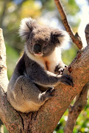Koala「Koala, (Phascolarctos cinereus)」:スマホ壁紙(15)