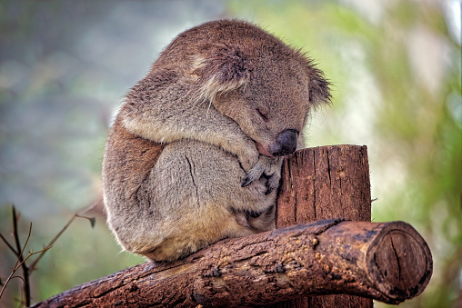 Animal Ear「Koala (Phascolarctos cinereus)」:スマホ壁紙(2)