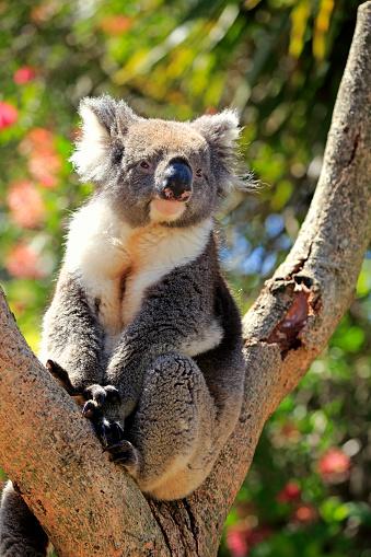 Koala「Koala, (Phascolarctos cinereus)」:スマホ壁紙(19)