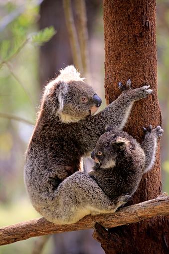 Koala「Koala, (Phascolarctos cinereus)」:スマホ壁紙(18)