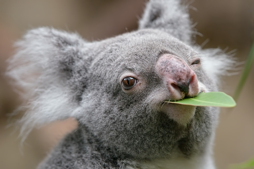 Endangered Species「koala」:スマホ壁紙(7)