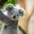 Koala壁紙の画像(壁紙.com)