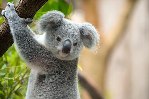 Branch - Plant Part「Koala」:スマホ壁紙(12)