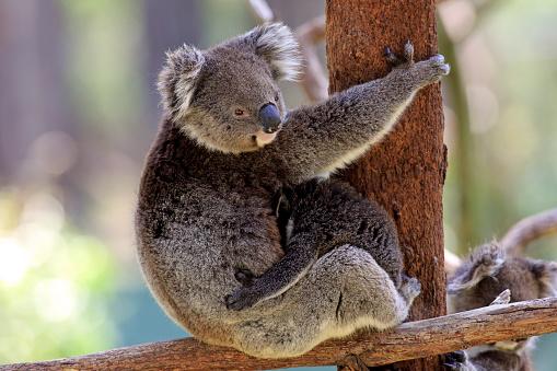 Koala「Koala, (Phascolarctos cinereus)」:スマホ壁紙(17)