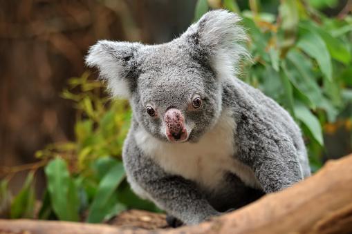 Koala「koala」:スマホ壁紙(6)