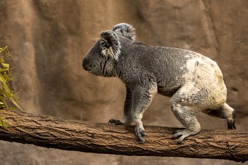 Arboreal Animal「Koala」:スマホ壁紙(15)