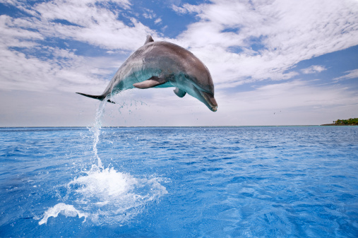 Aquatic Organism「Common Bottlenose Dolphin (Tursiops truncatus) leaping at height out of water, Honduras」:スマホ壁紙(14)