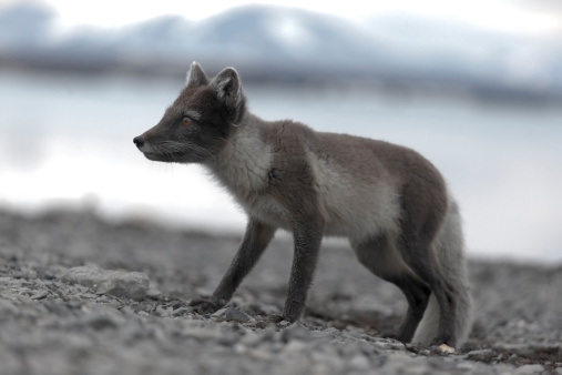 Arctic Fox「Vulpes lagopus (arctic fox)」:スマホ壁紙(14)