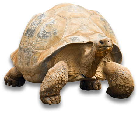 Walking「Tortoise with clipping path on white background」:スマホ壁紙(0)