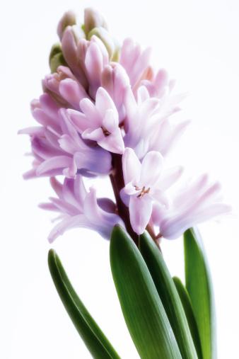 Hyacinth「Hyacinthe, close up」:スマホ壁紙(7)