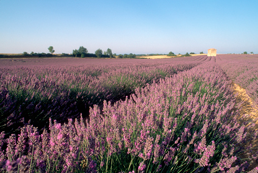 French Lavender「Field of Lavender」:スマホ壁紙(5)