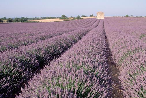 French Lavender「Field of Lavender」:スマホ壁紙(11)