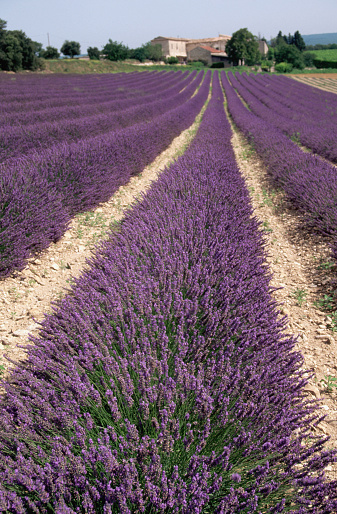 French Lavender「Field of Lavender」:スマホ壁紙(3)