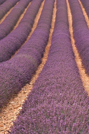 French Lavender「Field of Lavender」:スマホ壁紙(4)