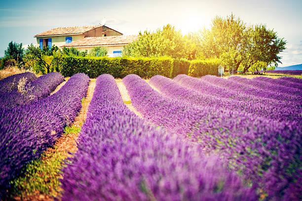 Field of lavender:スマホ壁紙(壁紙.com)