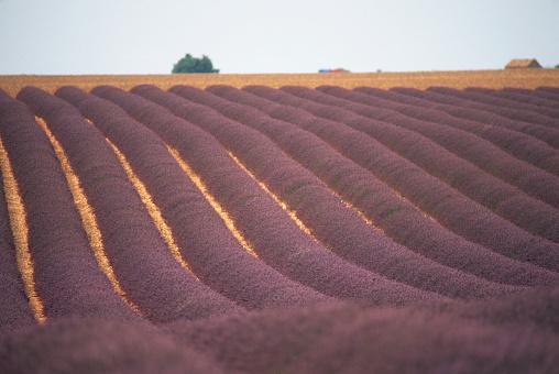 French Lavender「Field of Lavender」:スマホ壁紙(9)