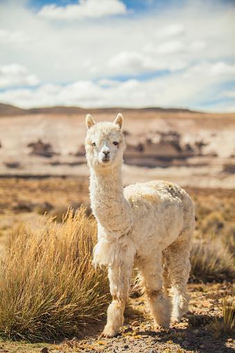 Alpaca「Alpaca portrait in the high desert of Peru」:スマホ壁紙(8)