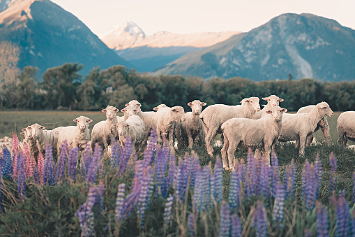 Flock Of Sheep「flock of sheep in south new zealand during summer lupine seasson」:スマホ壁紙(4)
