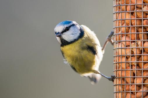 Close To「Eurasian blue tit on peanut bird feeder」:スマホ壁紙(5)