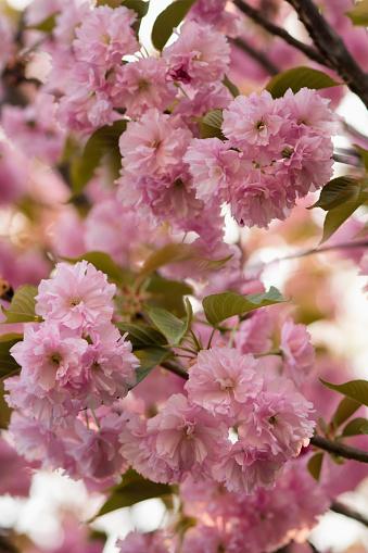 桜「Pink Cherry Blossom」:スマホ壁紙(19)