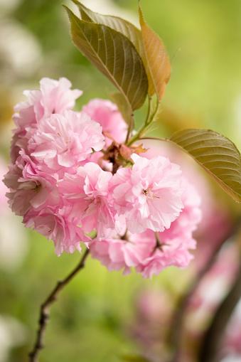 桜「Pink Cherry Blossom」:スマホ壁紙(6)