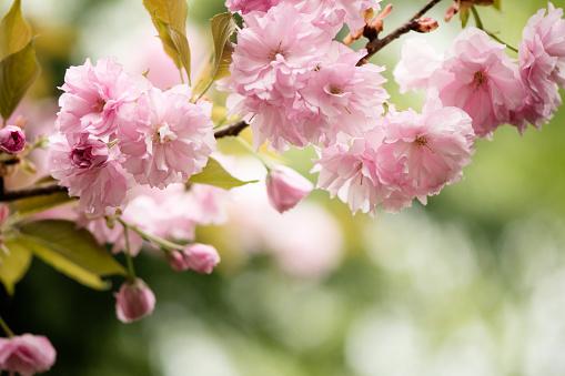 桜「Pink Cherry Blossom」:スマホ壁紙(17)