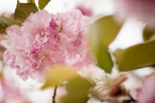 桜「Pink Cherry Blossom」:スマホ壁紙(3)