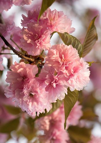 桜「Pink Cherry Blossom」:スマホ壁紙(13)