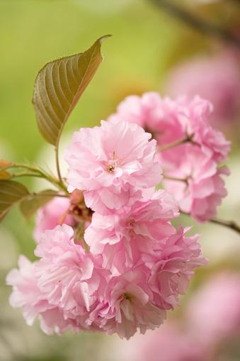 桜「Pink Cherry Blossom」:スマホ壁紙(5)