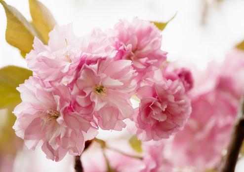 桜「Pink Cherry Blossom」:スマホ壁紙(9)
