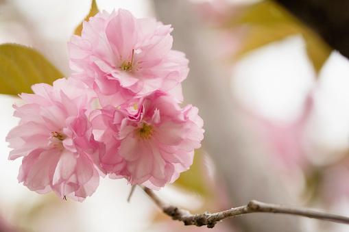 桜「Pink Cherry Blossom」:スマホ壁紙(12)
