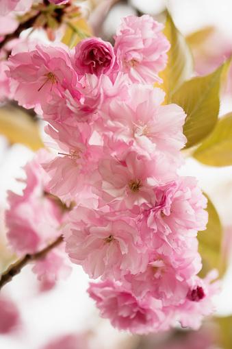 桜「Pink Cherry Blossom」:スマホ壁紙(8)
