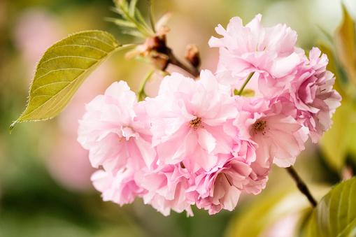 桜「Pink Cherry Blossom」:スマホ壁紙(15)