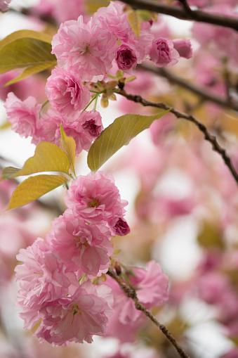 桜「Pink Cherry Blossom」:スマホ壁紙(4)