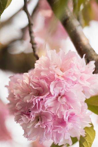 桜「Pink Cherry Blossom」:スマホ壁紙(18)
