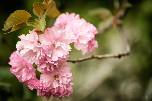桜「Pink Cherry Blossom」:スマホ壁紙(10)