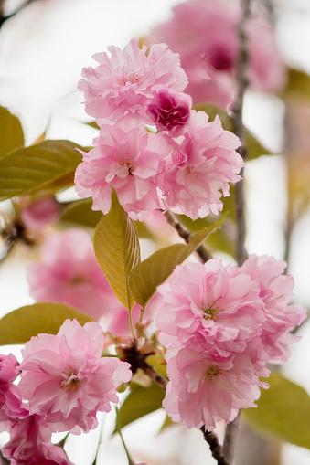 桜「Pink Cherry Blossom」:スマホ壁紙(11)