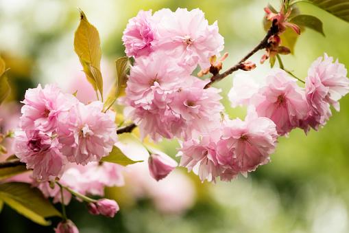 桜「Pink Cherry Blossom」:スマホ壁紙(16)