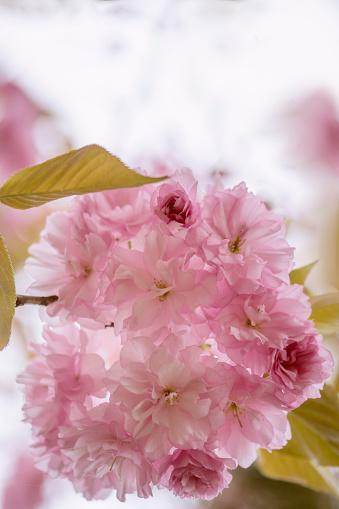 桜「Pink Cherry Blossom」:スマホ壁紙(14)