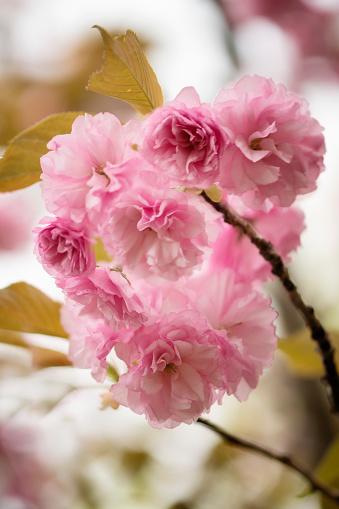 桜「Pink Cherry Blossom」:スマホ壁紙(7)