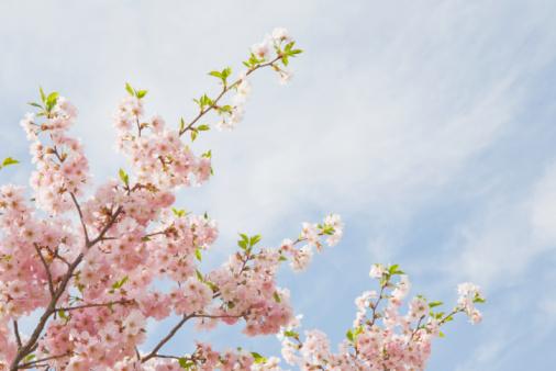 Cherry Blossom「Pink cherry tree blossoms」:スマホ壁紙(12)