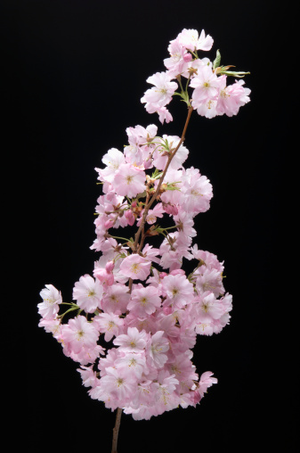 Cherry Blossom「'Pink Cherry Blossom, close-up'」:スマホ壁紙(5)