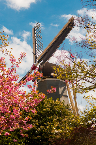 Keukenhof Gardens「Pink cherry blossom tree below windmill」:スマホ壁紙(12)