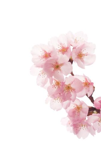 Sakura「ピンクの桜の花の背景に白」:スマホ壁紙(7)