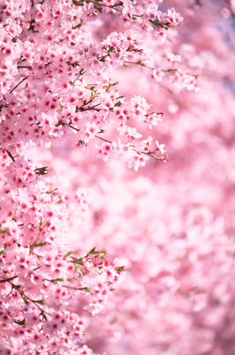 Japan「ピンクの桜」:スマホ壁紙(8)