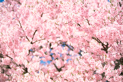 Cherry Blossoms「Pink Cherry Blossoms」:スマホ壁紙(3)