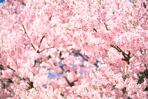 春「ピンクの桜」:スマホ壁紙(11)