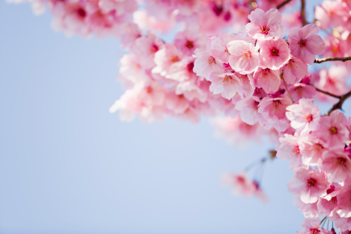 Cherry Blossoms「Pink Cherry Blossoms」:スマホ壁紙(13)