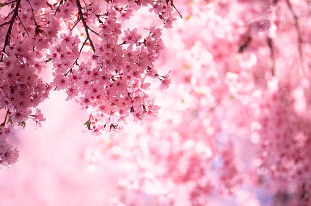 Pink Cherry Blossoms:スマホ壁紙(壁紙.com)