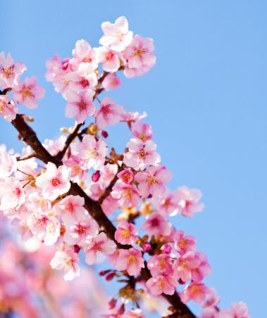 桜「ピンクの桜」:スマホ壁紙(11)